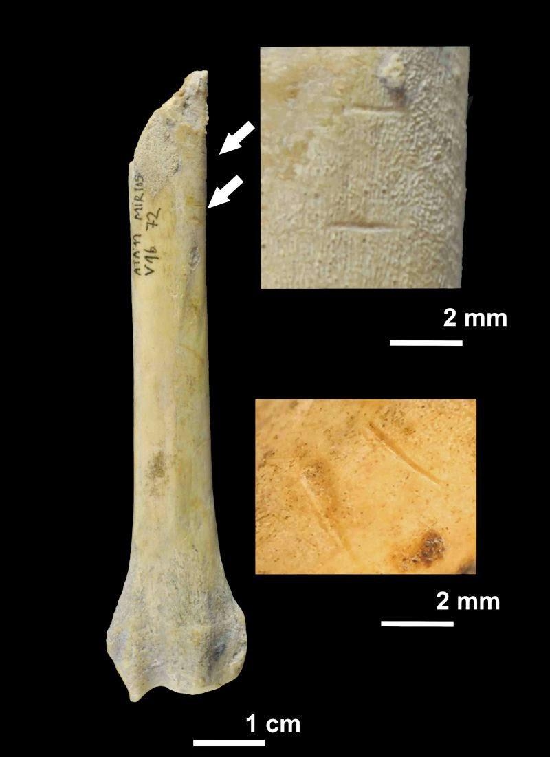 Fragment de radi de gos amb marques de tall realitzades pels homínids a la Cueva El Mirador, a Atapuerca - IPHES