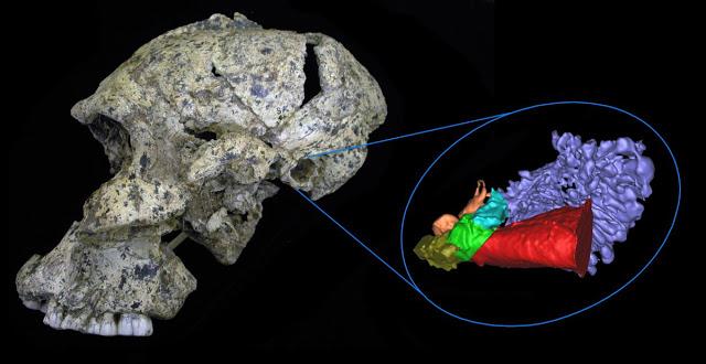 Cráneo de Paranthropus robustus SK46, hallado en el yacimiento de Swartkrans (Sudáfrica), con la reconstrucción virtual de las cavitats del oido - Science Advances