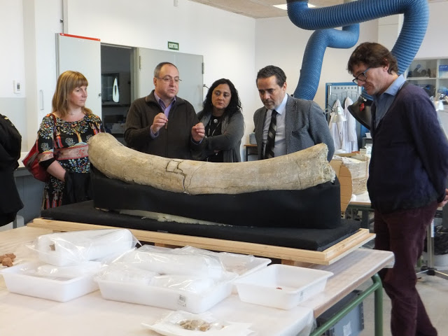 The Consul of Morocco (with a tie) looking at the mamouth's tusk found in the Boella gully, in the IPHES. Photo: Òscar Moreno/IPHES.