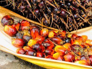El nombre de plantacions de palma s'ha multiplicat en els darrers anys.
