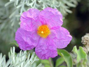 El cistus és un arbust que té un un alt contingut en flavonoides i polifenols